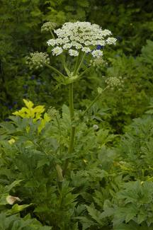 Heracleum persicum © Public Domain - Released by KEBman/via wikipedia - CC