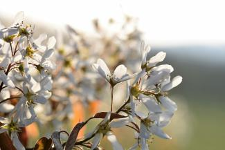 Flowers of Amelanchier
