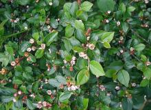 Cotoneaster divaricatus © Sten/via wikipedia - CC BY 3.0