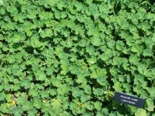 Alchemilla mollis © SEWilco via wikipedia –CC BY 3.0