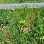 Roadside infested with Asclepias syriaca © Swen Follak