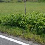 Road verge infested with Fallopia japonica © Swen Follak
